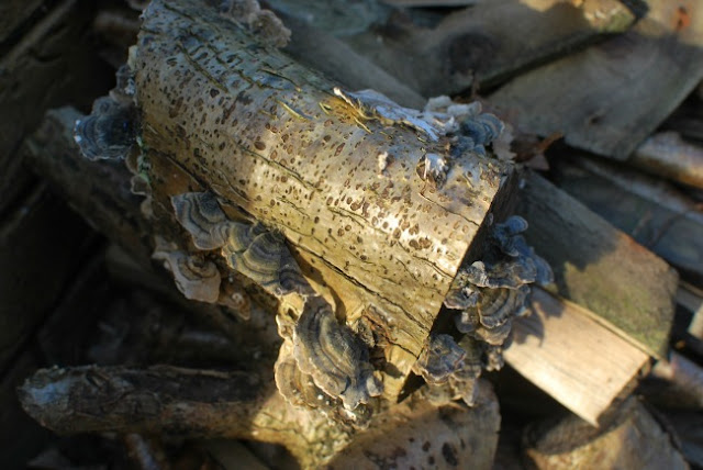log with fungus