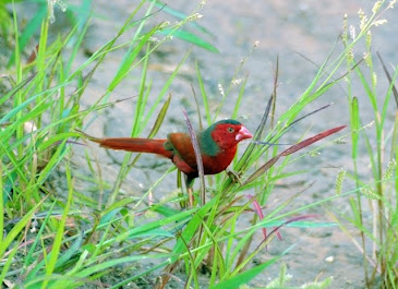 Crimsone Finch