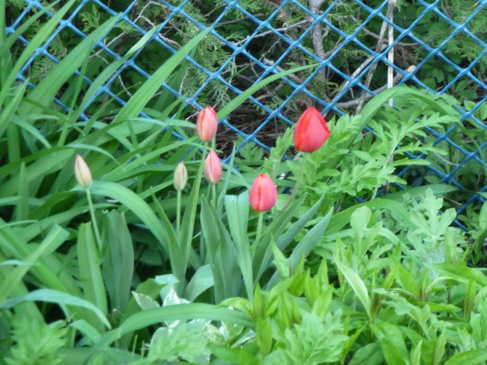 how to keep squirrels out od tulips