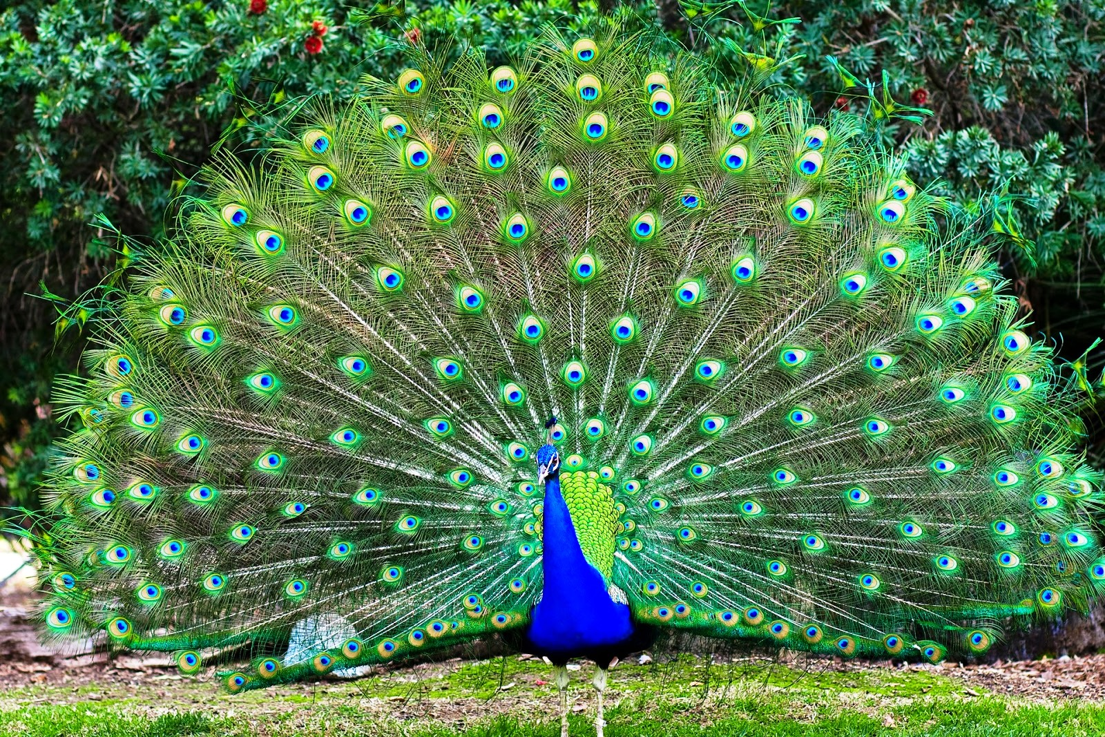 Burung Merak Hijau