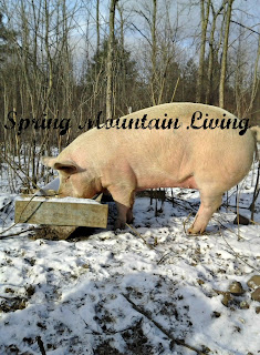 winter pig at spring mountain living