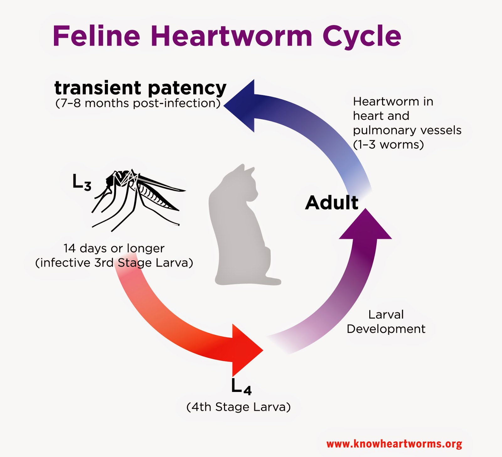Exclusively Cats Veterinary Hospital Blog: Heartworm infection in ...