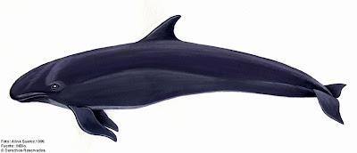 falsa orca Pseudorca crassidens