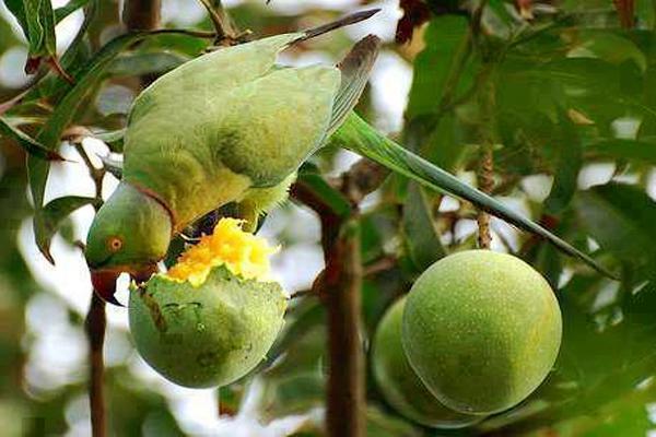 famous mango of rajshahi