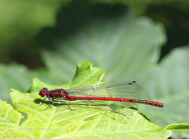 large red damselfly Pyrrhosoma nymphula on a leaf