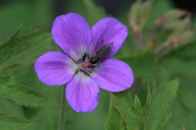 Geranium sylvaticum – Wood Crane's Bill (#34)