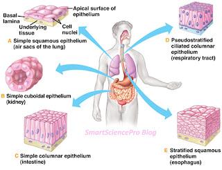 Simple Epithelium Tissues of Animals
