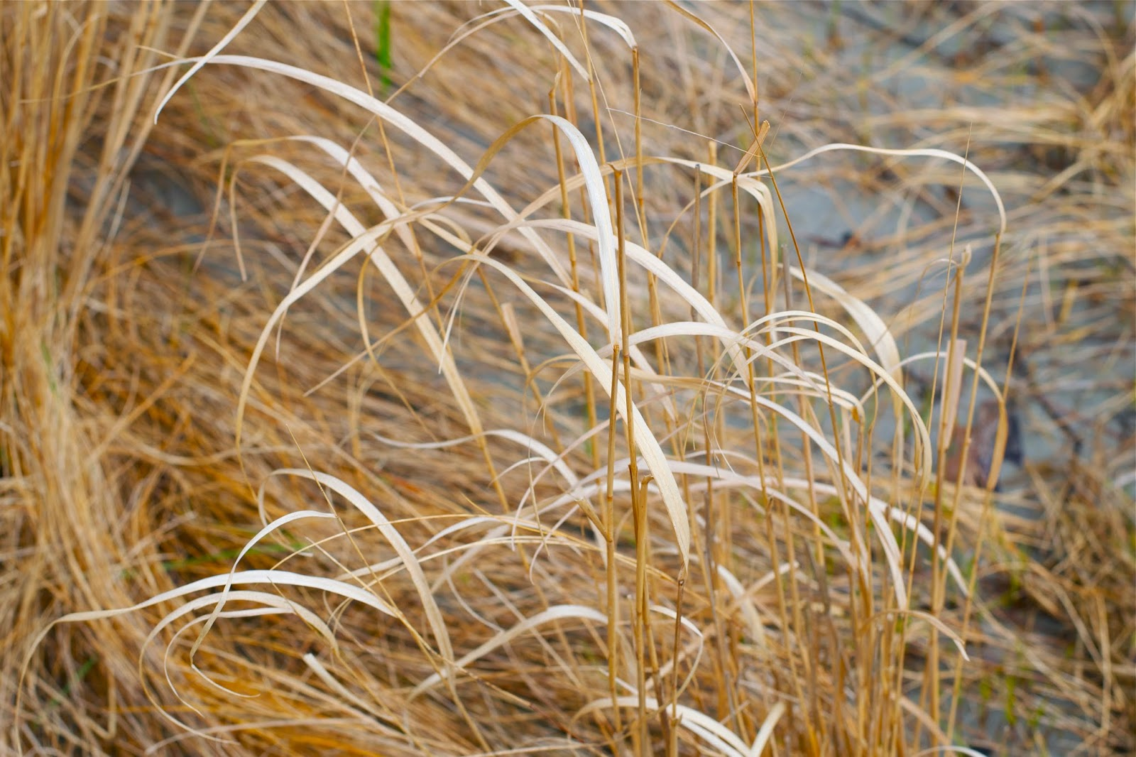 Golden and dried beach grass.