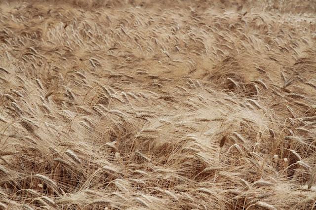 Fotografia di spighe di grano mature