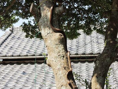 ツゲの木から下りてくるシマヘビ