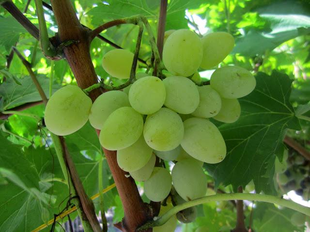 Grape in Montenegro