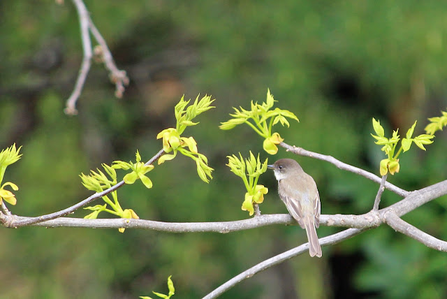 phoebe in pignut tree