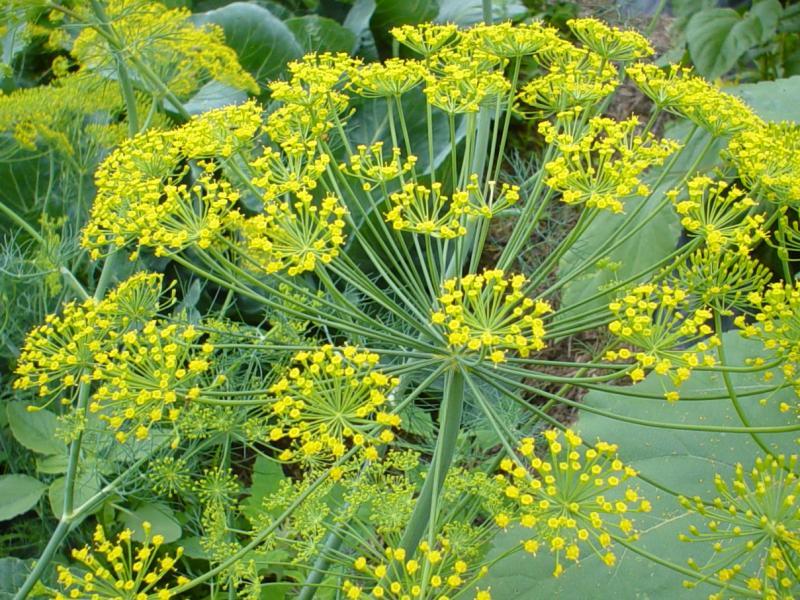 Herbs: Dill ~ The Fancy Flora
