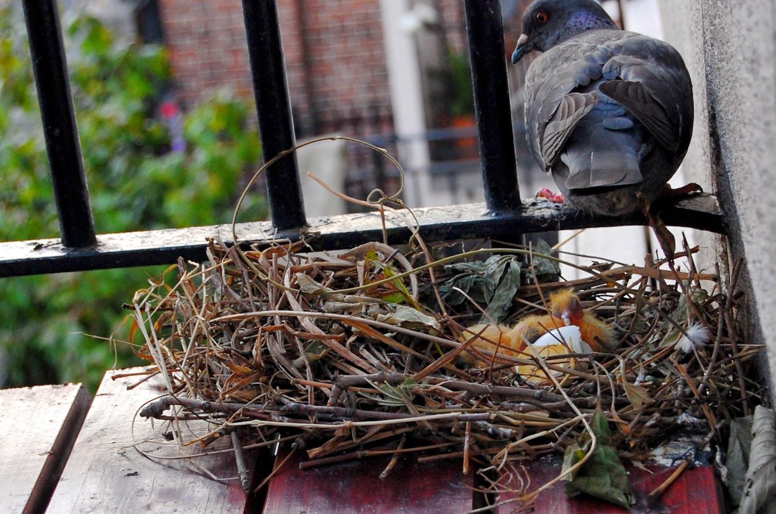 Mis amigas las palomas anidando en mi balc n for Ahuyentar palomas del balcon