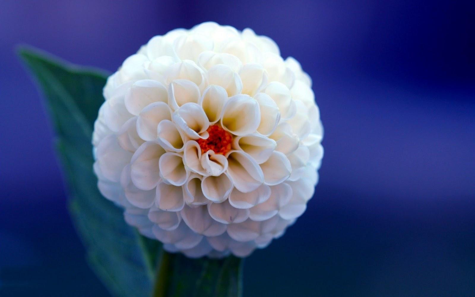Flowers World Dahlia White Flower