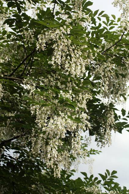 Tree directory american yellowwood can put on one of the most spectacular flowering displays of any tree species the blossoms appear in late spring when numerous mightylinksfo