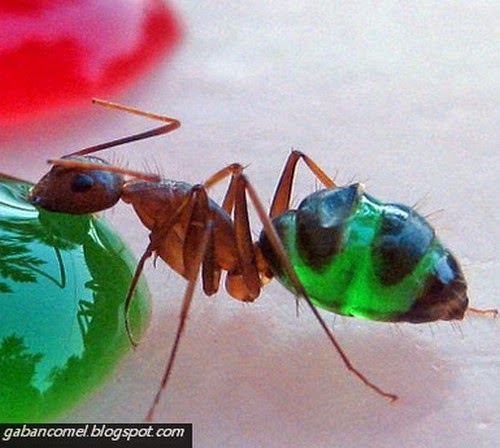 Pelik Perut Semut Aneh Ini Berwarna Warni