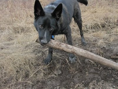A picture of Andy the dog dragging a tree branch.