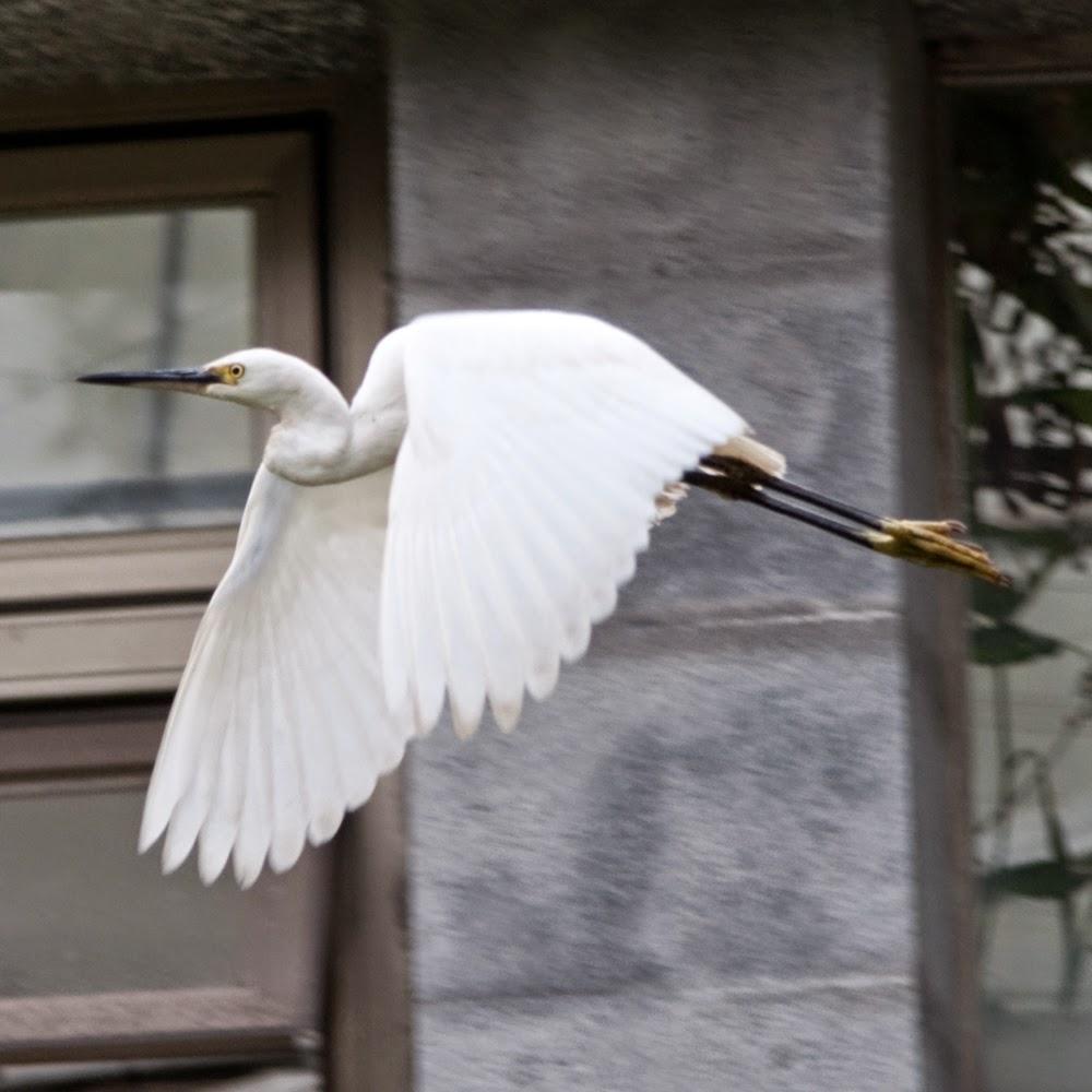 egret heron crane flying taipei botanical garden okinawa japan