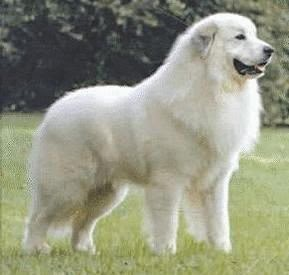 See more Great Pyrenees....seriously as large as a small horse. But also the sweetest, most gentle dog that I have ever met!! http://cutepuppyanddog.blogspot.com/