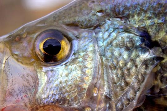 spring panfish crappie eye closeup
