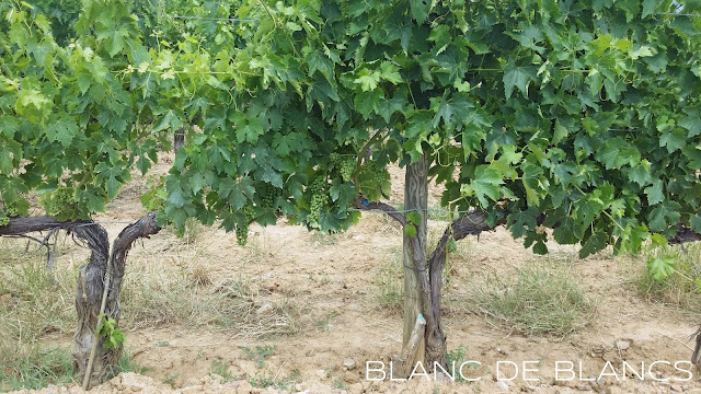 Brunello-viljelmiä Montalcinossa - www.blancdebancs.fi