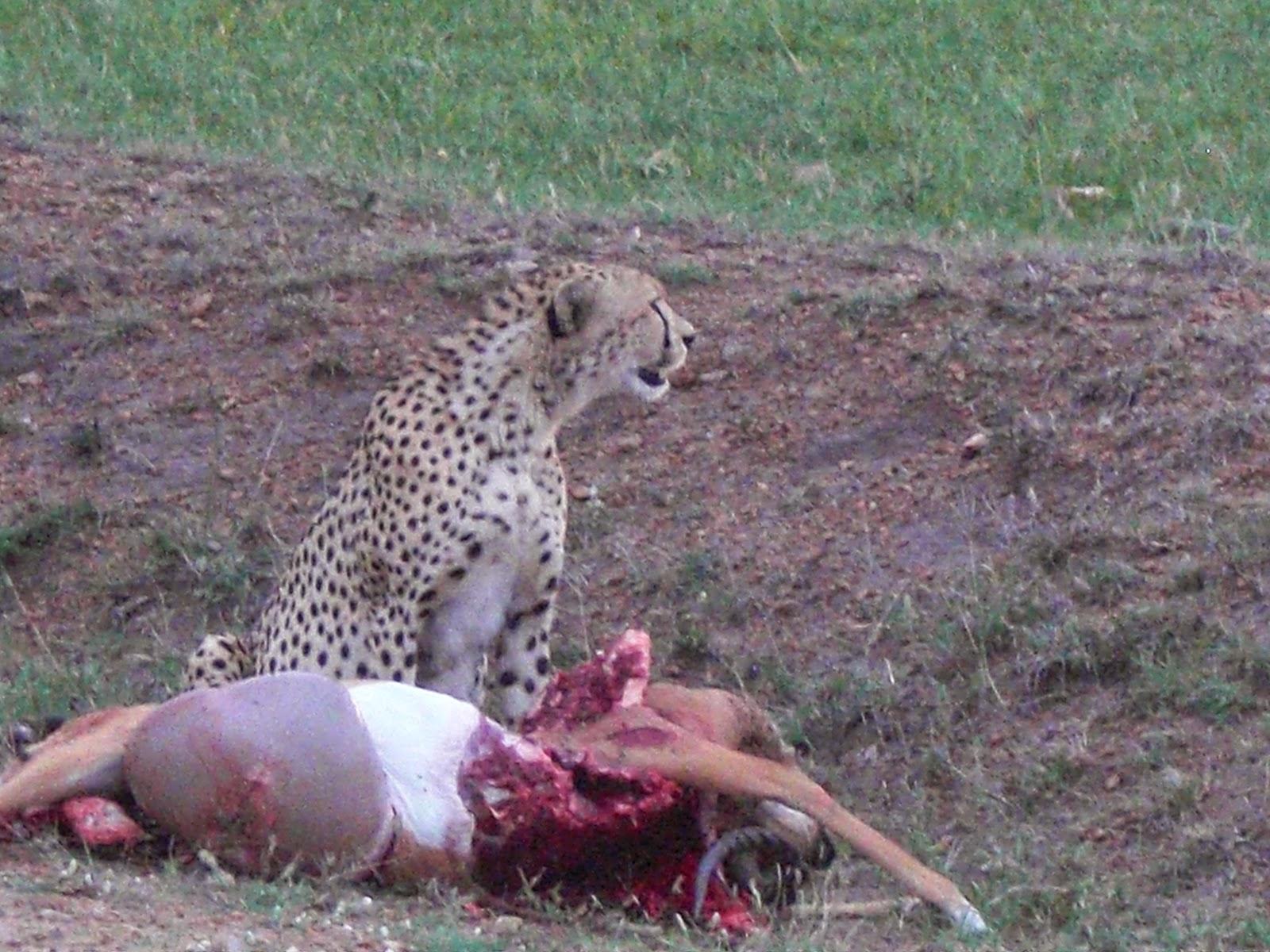 hvad spiser en gepard