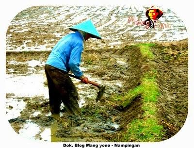 Istilah – istilah dalam menanam padi di sawah atau nyawah di kabupaten subang.