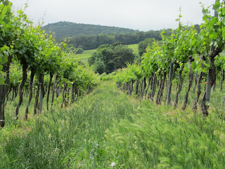 One of hundreds of vineyards surrounding Vienna