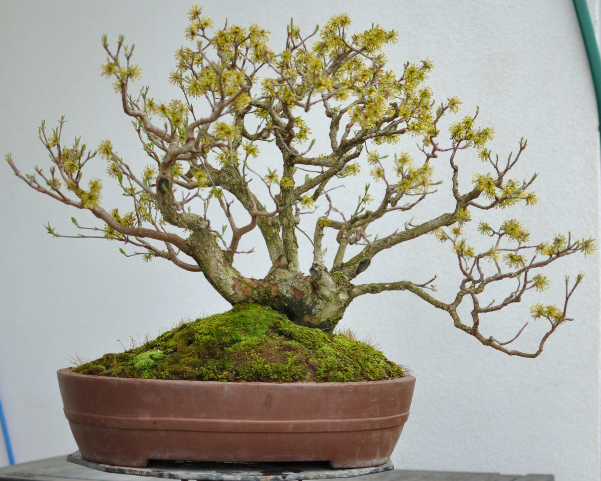 Maros Bonsai Blog Cornus Mas No1 In Flowers