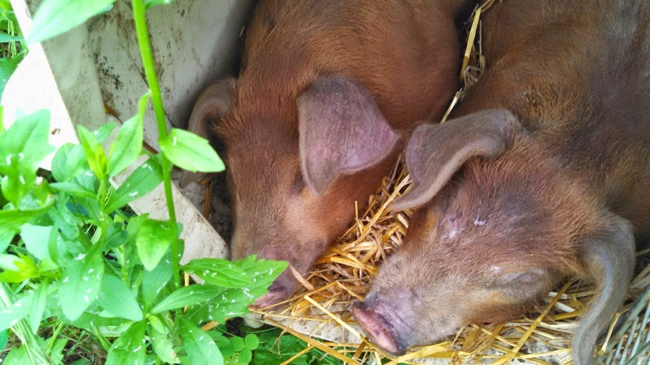 Meet the Piglets, shared by The Messy Organic Mum