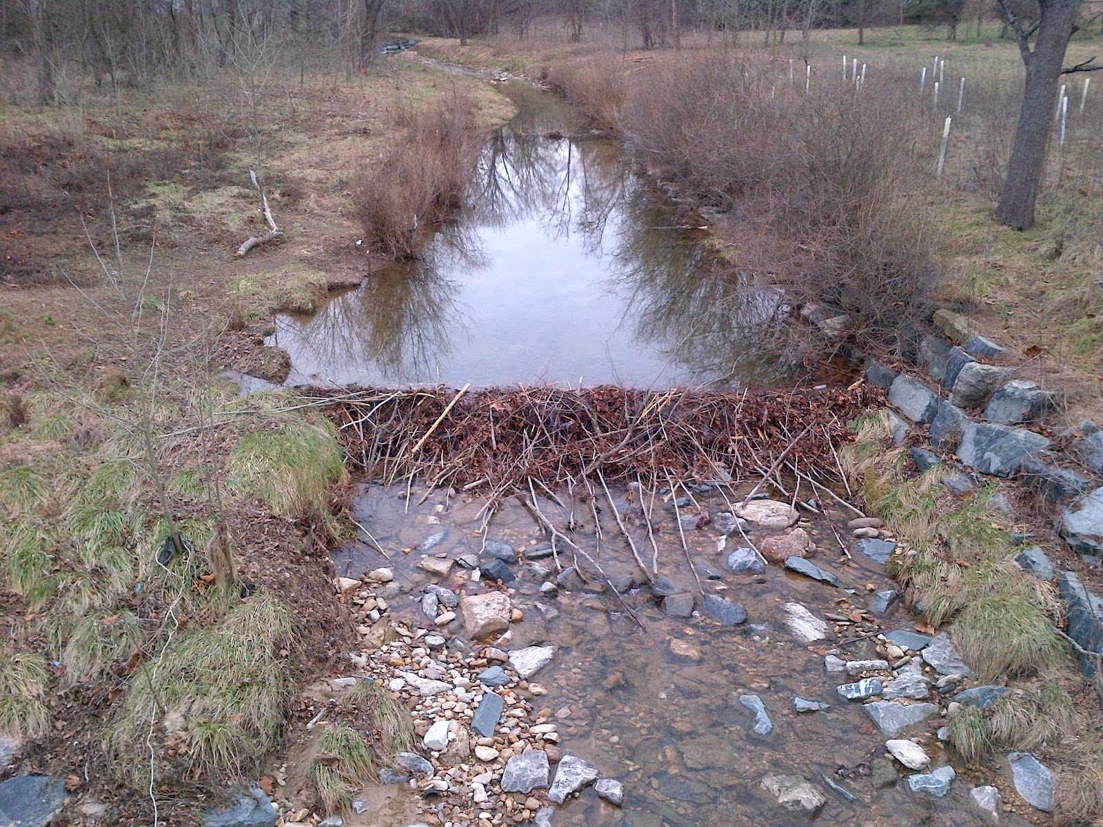 Beaver dam on Minebank Run, 31 December 2012