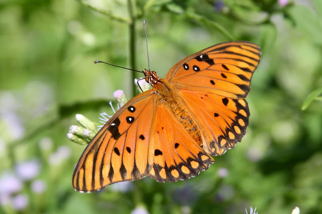 Gulf Fritillary on Blue Mist Flower-Needville, Texas