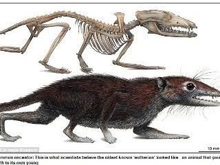 類老鼠生物 人類共同祖先