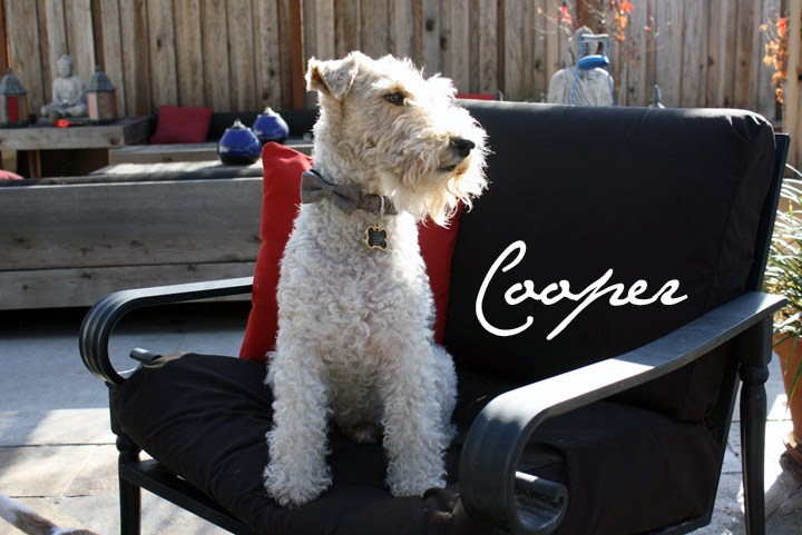 Cooper the Wire Fox Terrier - The Tipsy Terrier blog