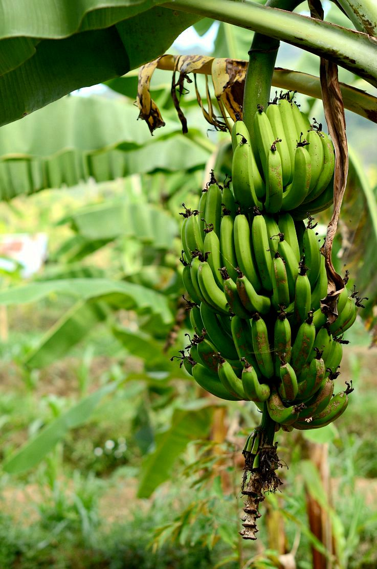 Banana Tree,Bali, Indonesia