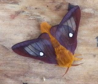 Northern Pink-striped Oakworm Moth