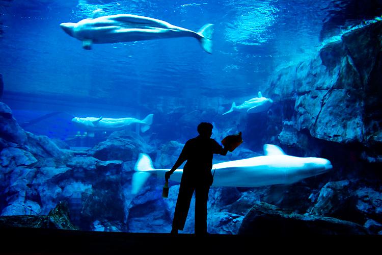 Image Result For Georgia Aquarium Beluga Whales