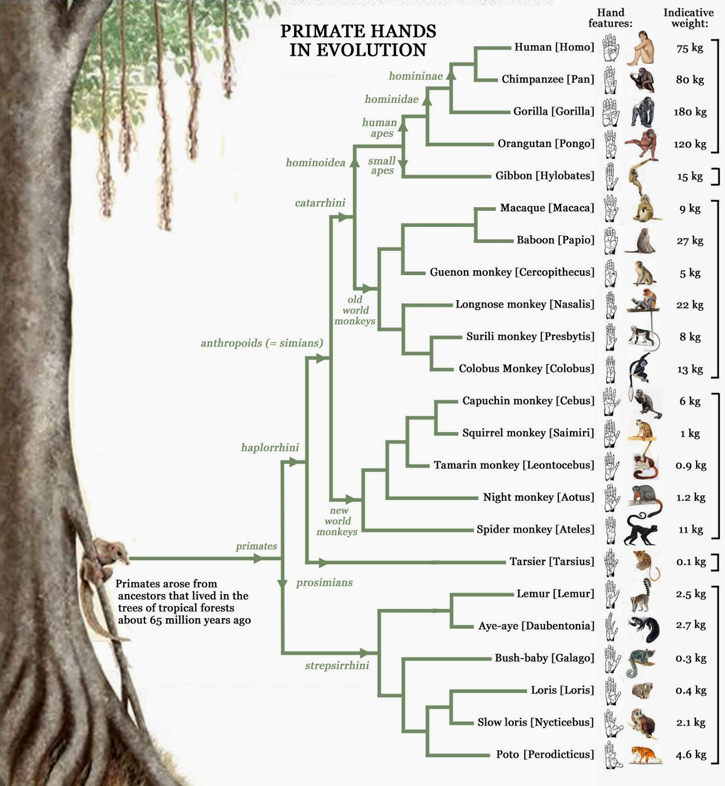 Human evolution diagram tree