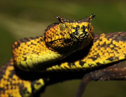 New Snake Species, Matilda's Horned Viper | Collection ...