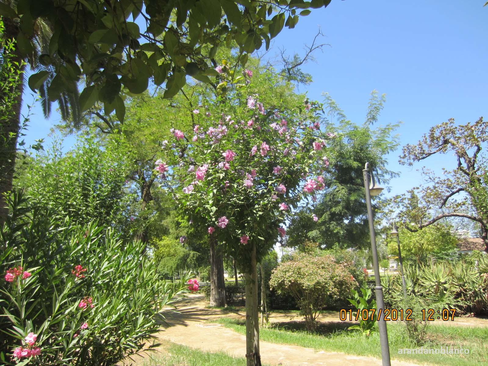 Arbustosensevilla encinarosa altea hibiscus syriacus for Hibiscus arbol