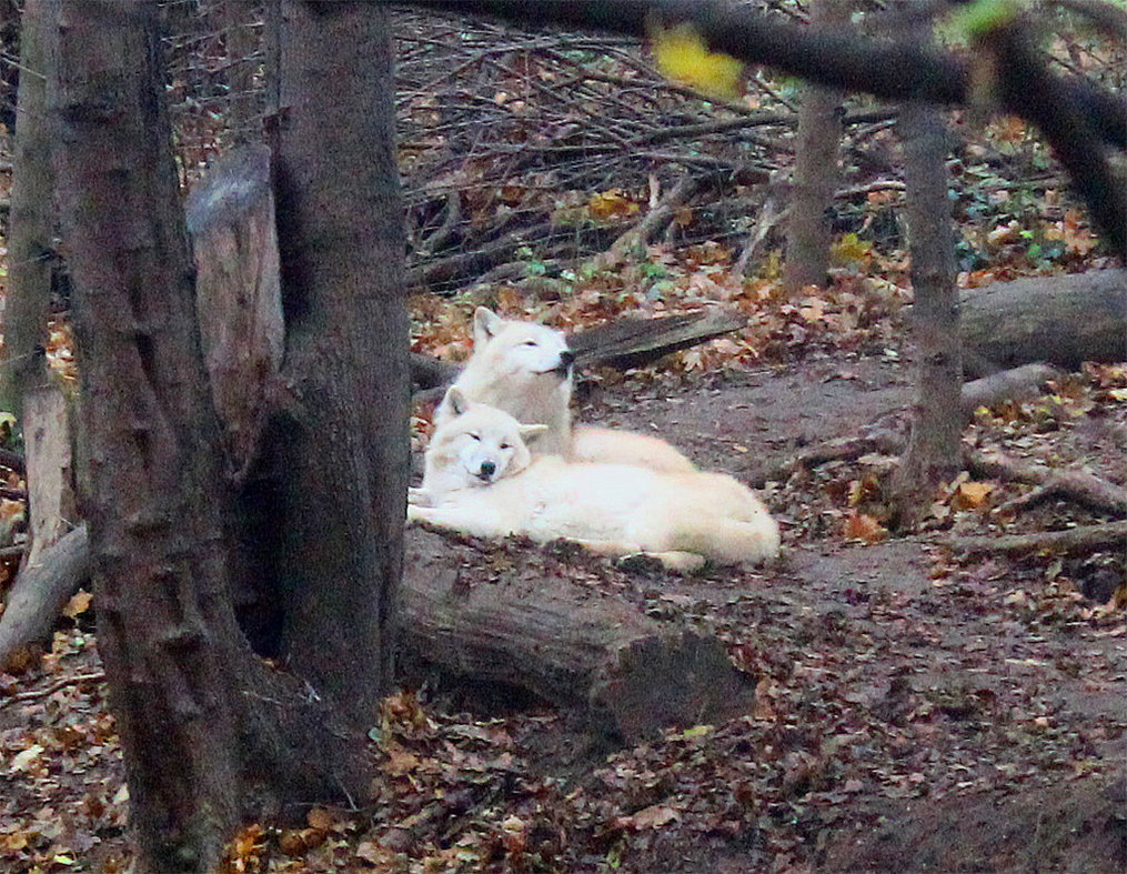 White Wolf : Wolves Cu...