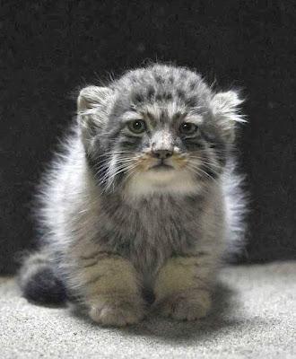 http://2.bp.blogspot.com/-8QWzoaHeCwk/UtyvXCToxsI/AAAAAAAAC5o/HIahInf9AWc/s1600/Manul+Cat+%E2%80%93+Adopted+To+Siberian+Climate.jpg