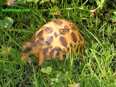 Astrochelys radiata high yellow
