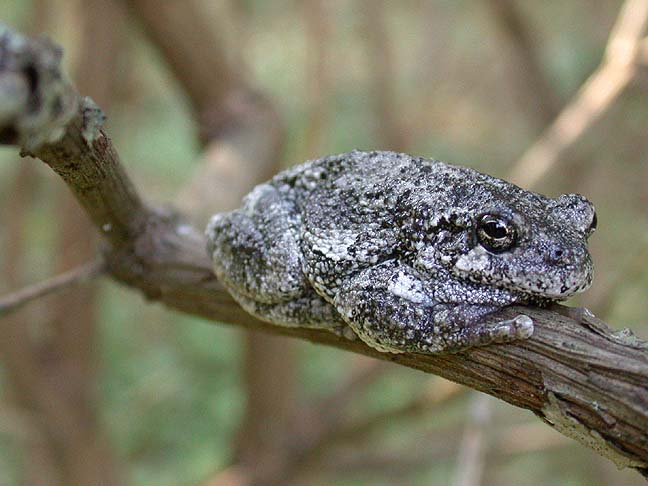Gray tree frog - photo#24
