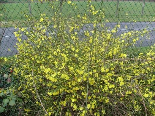 Ma plan te jardin taille de printemps pour le jasmin d 39 hiver - Taille jasmin d hiver ...