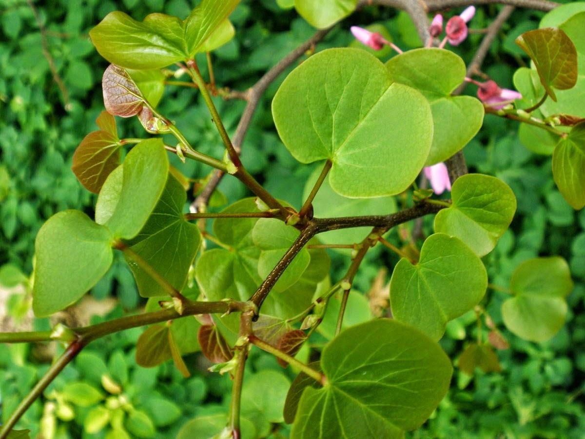 Taille arbre de jude great arbre de jude plant en jardin for Taille arbre de judee