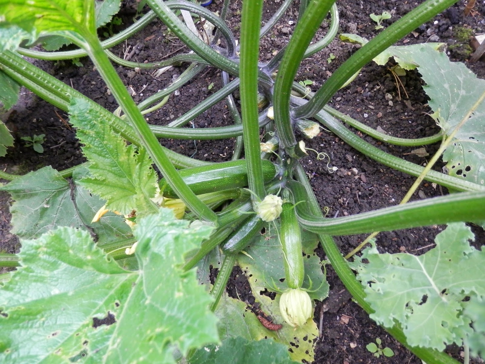 august-garden-vegetable-plot-grow-your-own-second-hand-susie-blog