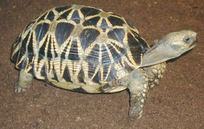 endangered asiatic Tortoise Geochelone