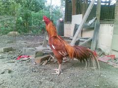 Koleksi Ayam Siam